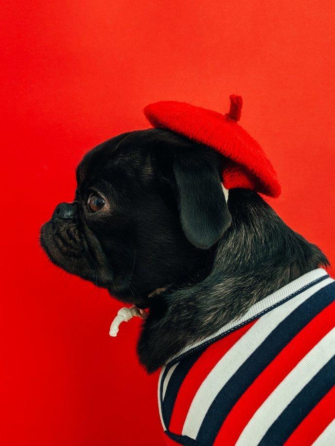 Interkulturelle Unterschiede zwischen Deutschland und Frankreich zeigen sich manchmal auch bei den Haustieren. Hier trägt ein Mops eine französische Baskenmütze.